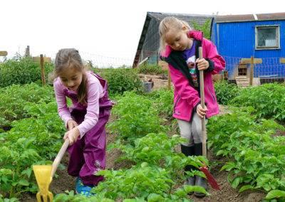 Und die leckeren Bio-Kartoffeln müssen vom Unkraut befreit werden.