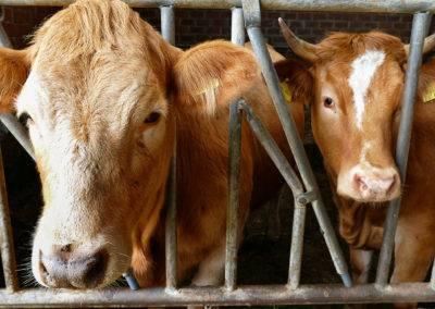 Rinder anfassen und streicheln, eine schöne Erfahrung für Kinder